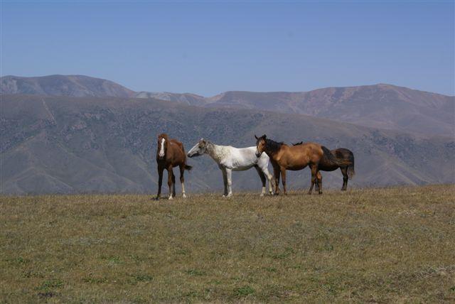 пасущие лошади